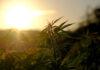 plant de cannabis au soleil